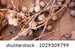 dried eucalyptus seed pods... | Shutterstock . vector #1029309799