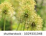 allium cristophii  persian... | Shutterstock . vector #1029331348