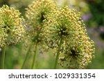 allium cristophii  persian... | Shutterstock . vector #1029331354
