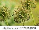 allium cristophii  persian... | Shutterstock . vector #1029331360