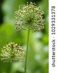 allium cristophii  persian... | Shutterstock . vector #1029331378