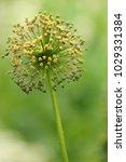 allium cristophii  persian... | Shutterstock . vector #1029331384