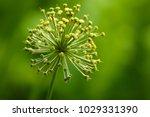 allium cristophii  persian... | Shutterstock . vector #1029331390