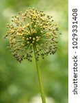 allium cristophii  persian... | Shutterstock . vector #1029331408