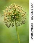 allium cristophii  persian... | Shutterstock . vector #1029331420