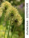 allium cristophii  persian... | Shutterstock . vector #1029331438
