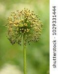 allium cristophii  persian... | Shutterstock . vector #1029331444