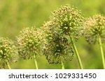 allium cristophii  persian... | Shutterstock . vector #1029331450
