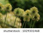 allium cristophii  persian... | Shutterstock . vector #1029331468