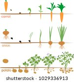 three cycles of growth of... | Shutterstock .eps vector #1029336913