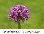 allium cristophii  persian... | Shutterstock . vector #1029342604