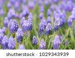grape hyacinth muscari...   Shutterstock . vector #1029343939