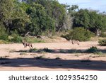 picture of wild kudu in kruger... | Shutterstock . vector #1029354250
