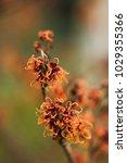 hamamelis intermedia ' copper... | Shutterstock . vector #1029355366