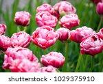 tulips wedding gift on a... | Shutterstock . vector #1029375910