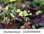 barrenwort  bishop's hat  fairy ... | Shutterstock . vector #1029398494