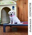 yellow labrador retriever  only ... | Shutterstock . vector #1029430708