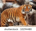 Tigers stare - stock photo
