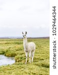 One Bolivian Llama Along The...