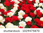 a flowerbed of red and white... | Shutterstock . vector #1029475870