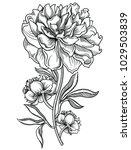 blooming peony flowers  ...   Shutterstock .eps vector #1029503839