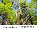 Dwarf Cypress Trees And...