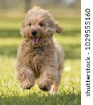 Stock photo cute hairy puppy running and jumping toward camera on grass 1029555160