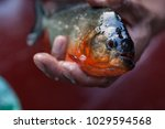piranha fished in amazon rivers | Shutterstock . vector #1029594568