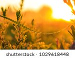 drops of dew on a blade of... | Shutterstock . vector #1029618448