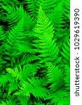 green texture of fern leaves ... | Shutterstock . vector #1029619390