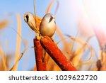 bearded reedling and sunny... | Shutterstock . vector #1029622720