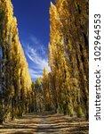 Avenue Of Poplar Trees In...