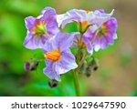 Purple Potato Flowers  Solanum...