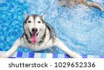 Stock photo a smiley dog handsome siberian husky white and grey fur colored is swimming in the new blue pool 1029652336
