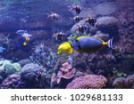 barcheek unicornfish  naso... | Shutterstock . vector #1029681133