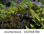 Two Red Crested Cardinals Clea...