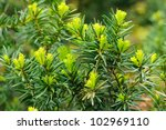branch with young needles of an ... | Shutterstock . vector #102969110