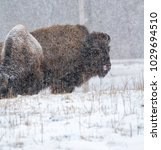 Small photo of American bison (Bison bison) at snow storm