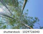 tall trees rising skyward... | Shutterstock . vector #1029726040