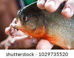 piranha fished in amazon rivers | Shutterstock . vector #1029735520
