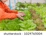 hydroponics vegetable farming... | Shutterstock . vector #1029765004