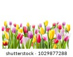 Tulip Flowers Isolated On Whit...