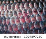 scales fish texture background. ... | Shutterstock . vector #1029897280