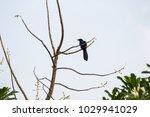 asian koel   eudynamys... | Shutterstock . vector #1029941029