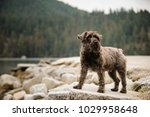 miniature schnauzer dog outdoor ... | Shutterstock . vector #1029958648