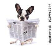 French Bulldog Reading...