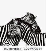 Zebra Couple Vector Drawing...