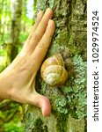 A Large Snail On The Bark Of A...