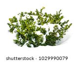 Bush Green Boxwood Under Snow....
