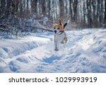 Beagle Dog Runs And Plays In...